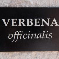 Verbena1